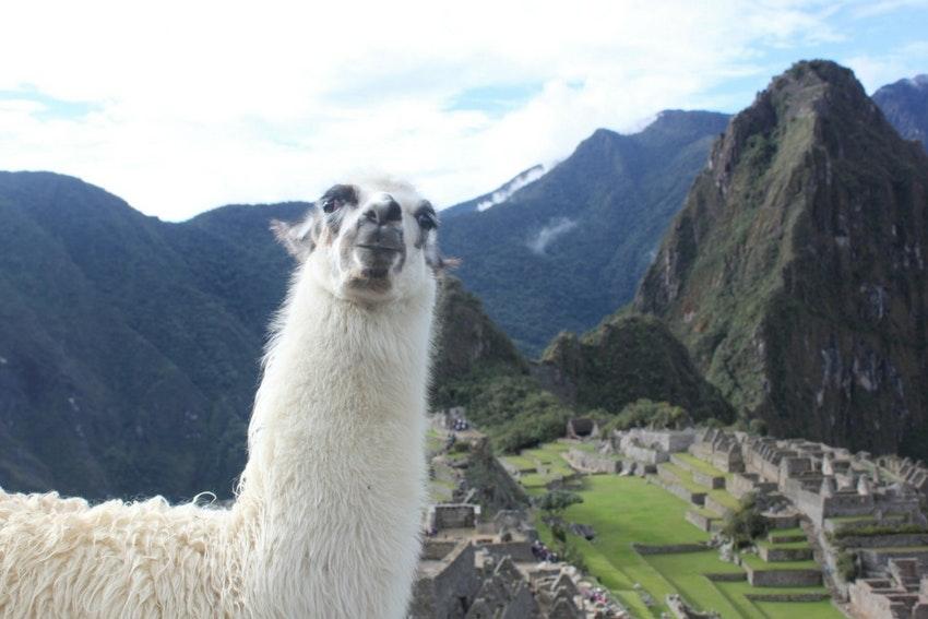 Llama above Machu Picchu