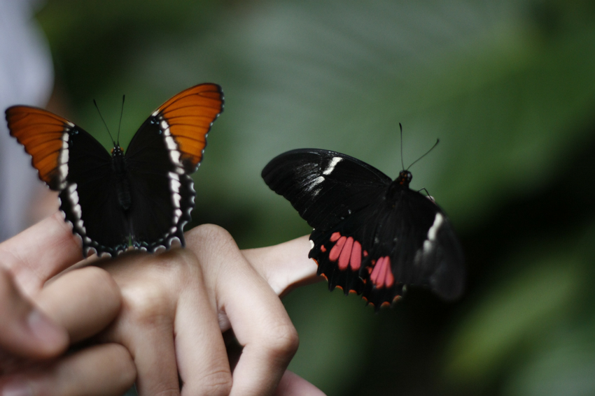 Butterflies in Costa Rica, Intern Abroad HQ