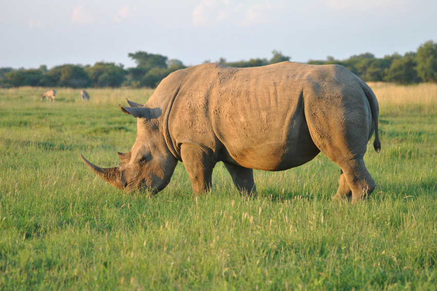 Rhino in Dinokeng Game Reserve, South Africa