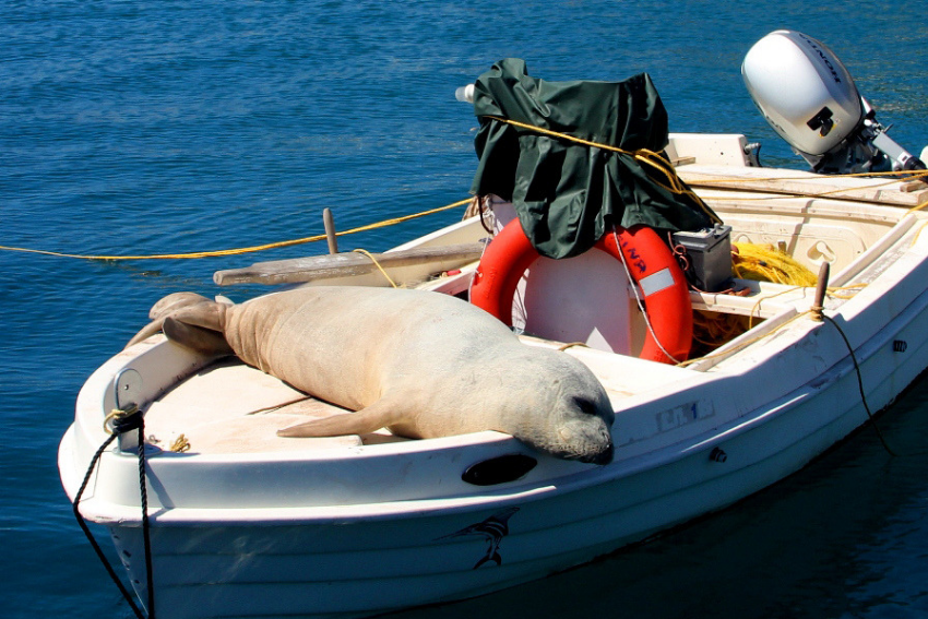 Seal sunbathing in Greece, Intern Abroad HQ