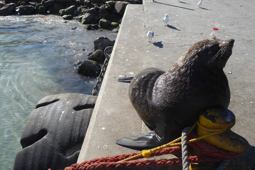 Sea Lion in South Africa