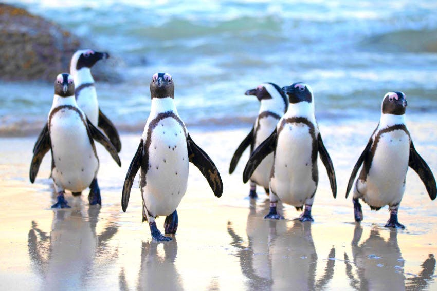 Penguins at Boulder Beach in South Africa