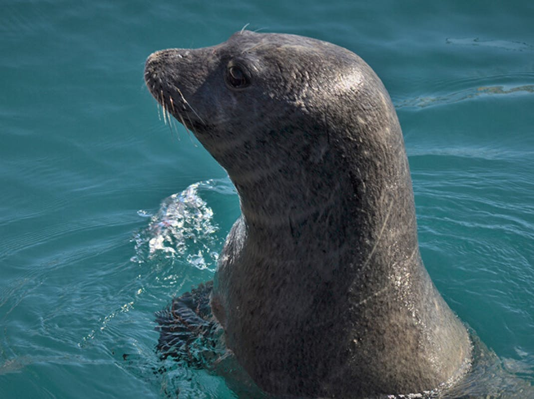 Seal pokes it's head out of the water in Greece