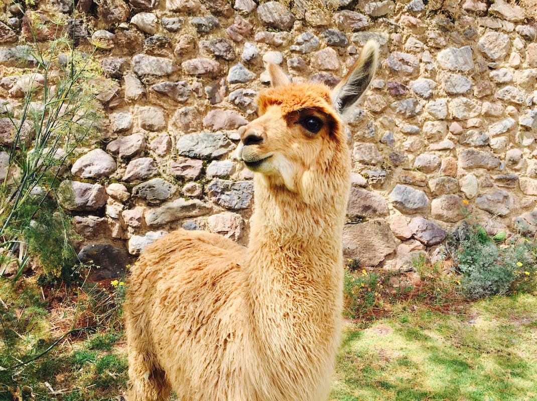 Cute llama poses in the Sacred Valley, Cusco