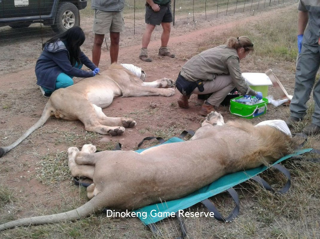 Internships in Dinokeng Game Reserve Reserve and Predator Management