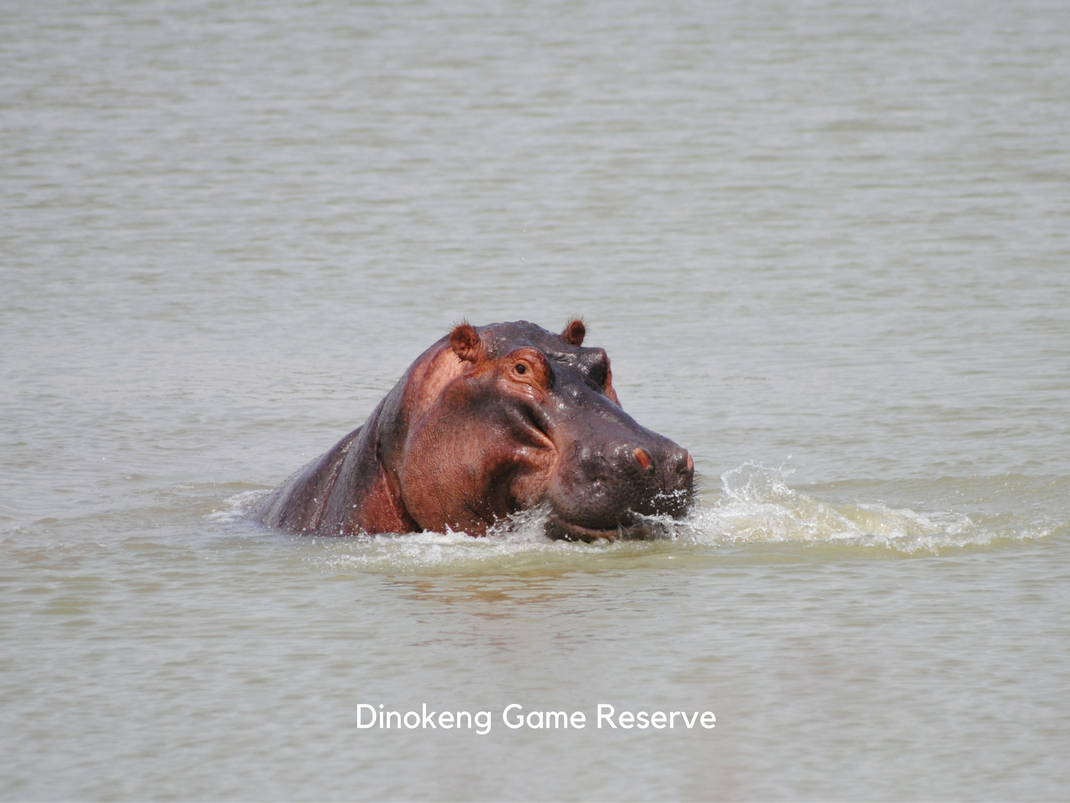 Internships in Dinokeng Game Reserve happy hippo says hello