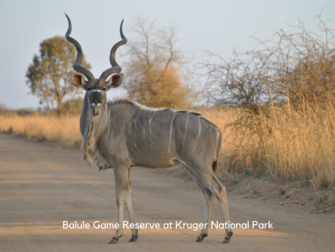 Internships in Balule Game Reserve at Kruger National Park Nyala Antelope