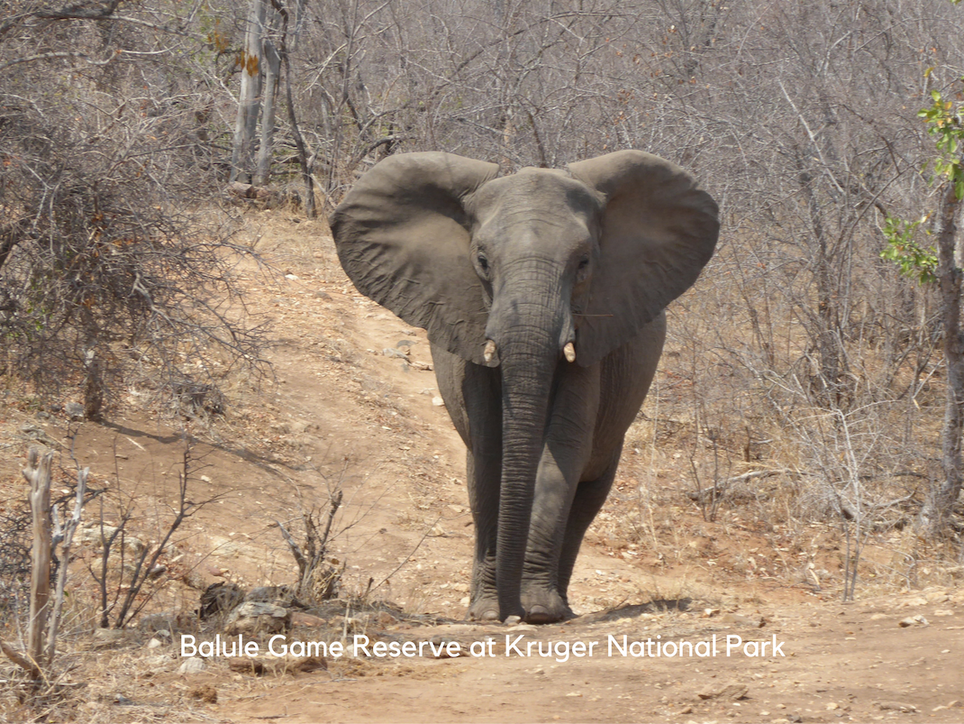 Internships in Balule Game Reserve at Kruger National Park elephant walks the path
