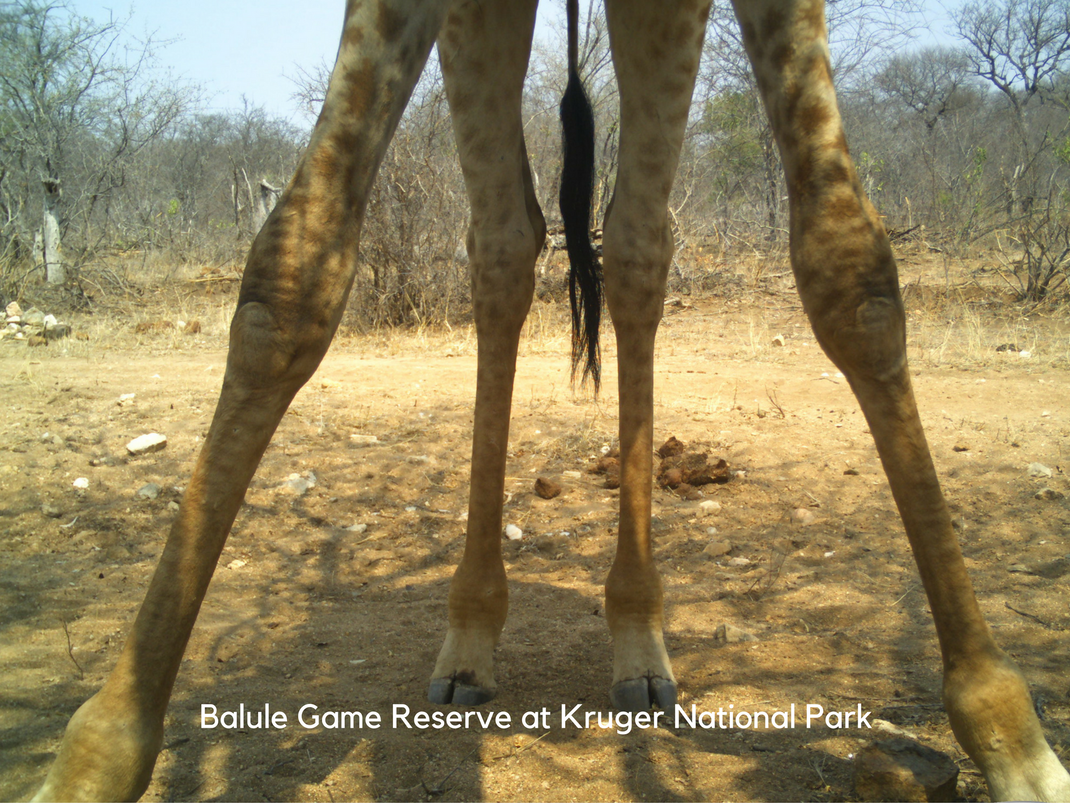 Internships in Balule Game Reserve at Kruger National Park giraffe legs caught by the camera trap