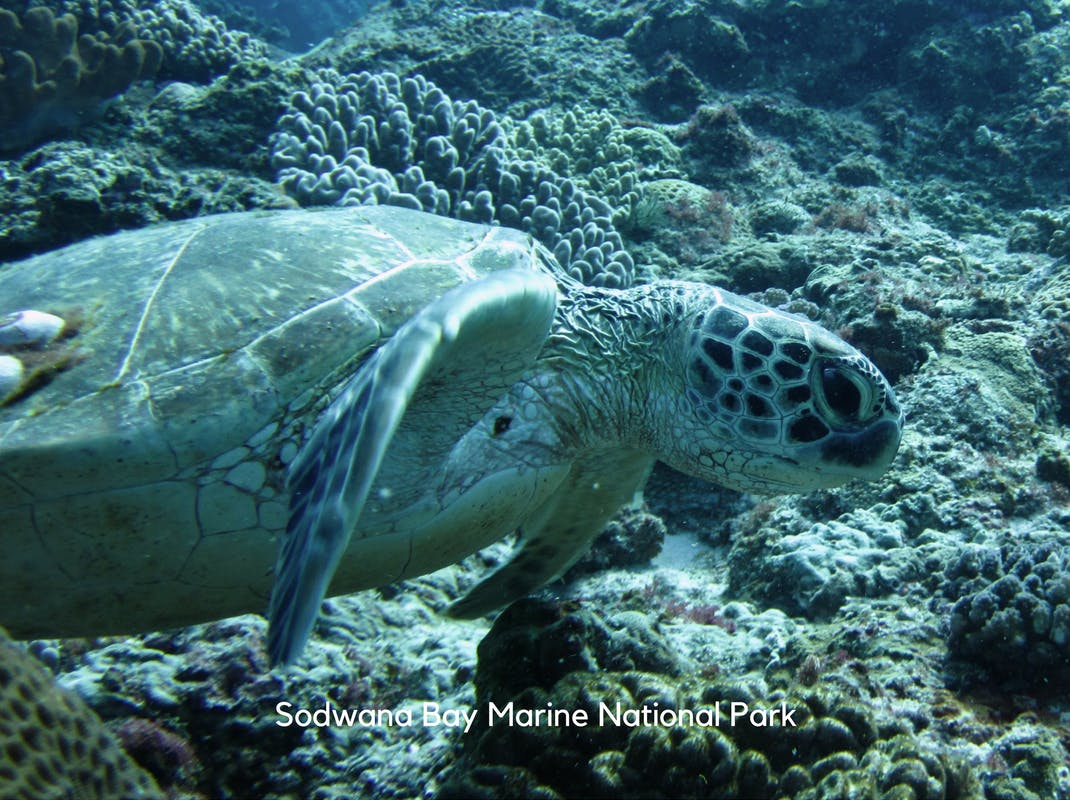 Marine Conservation Internships in Sodwana Bay swimming turtle