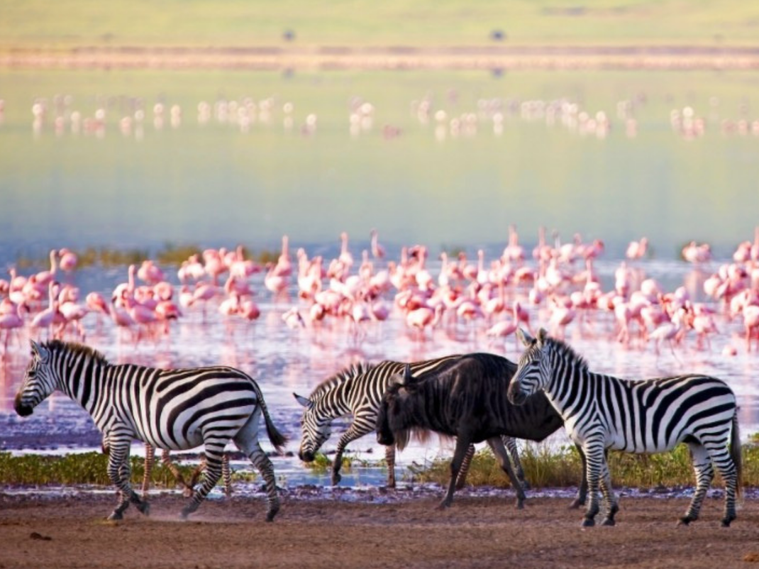 Zebra in Tanzania, Intern Abroad HQ