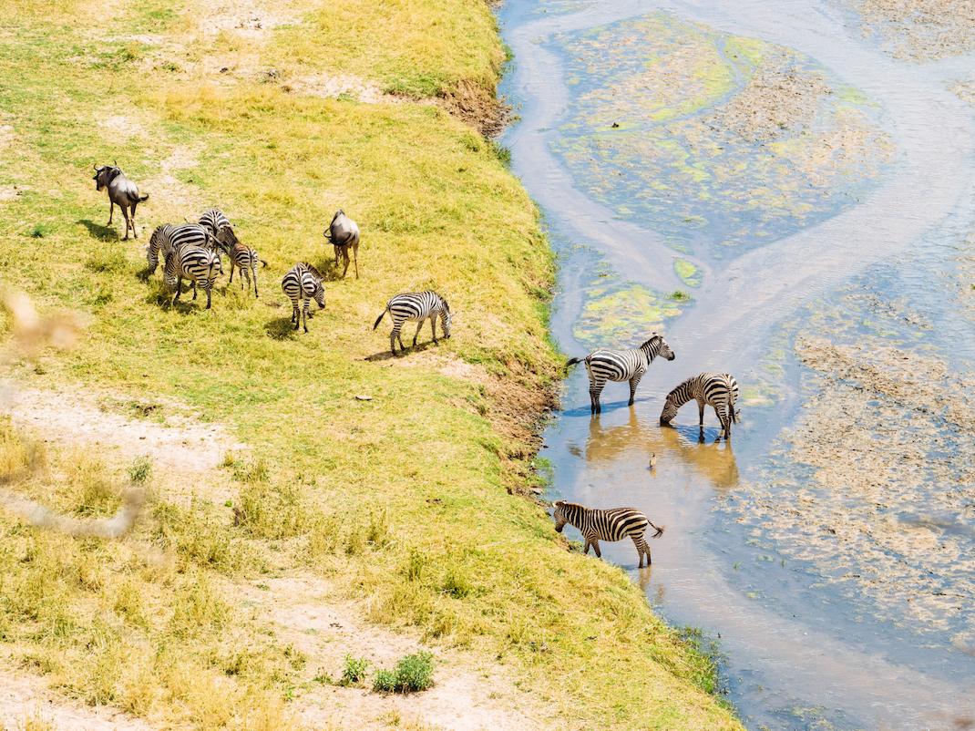 Zebra herd in Tanzania, Intern Abroad HQ