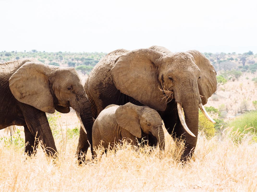 Elephant in Tanzania, Intern Abroad HQ