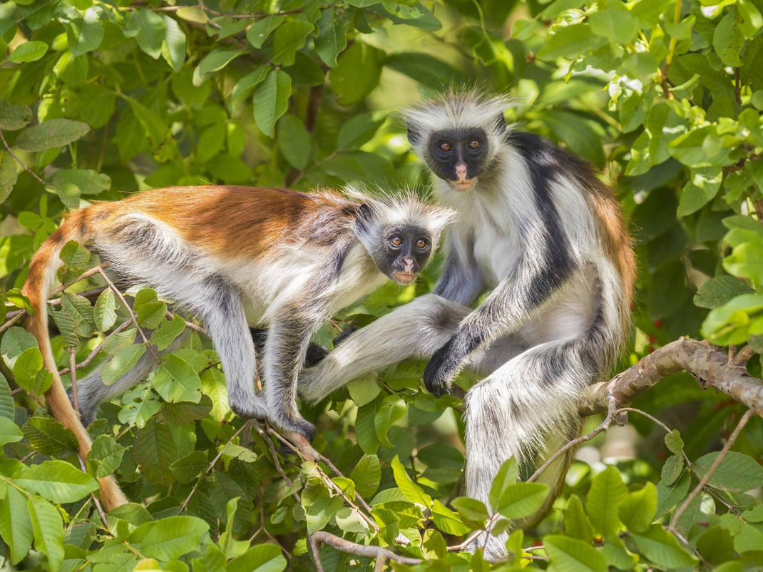 Red Colobus monkey in Zanzibar, Intern Abroad HQ